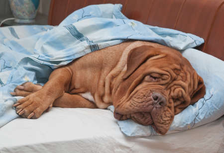 bedclothes: Dogue De Bordeaux Dog (French Mastiff) Sleeping Sweetly in Owners Bed Stock Photo
