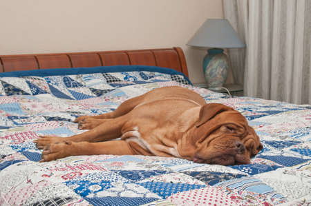 counterpane: Cute Dogue De Bordeaux puppy lying on the bed with handmade patchwork quilt