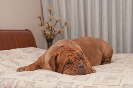 french mastiff: Touching dog of French Mastiff breed is missing her master lying on his bed Stock Photo