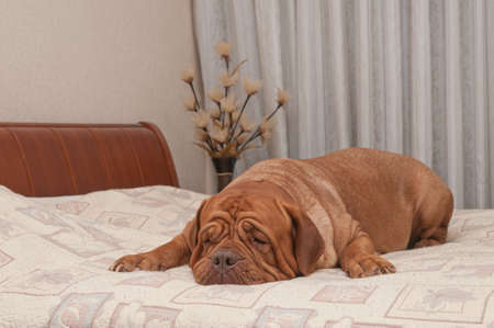 comfy: Adorable four years old dog of French Mastiff breed is missing her master lying on his bed Stock Photo