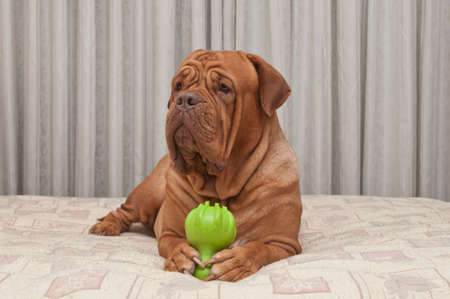 bordeaux: Huge Dog of Dogue De Bordeaux Breed is lying on masters bed holding green toy in her paws Stock Photo