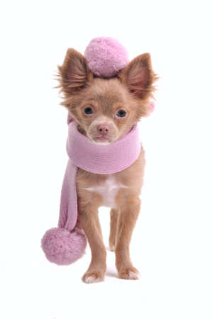 Portrait of four months old chihuahua puppy with pink scarf with pompoms and beret isolated on white background photo
