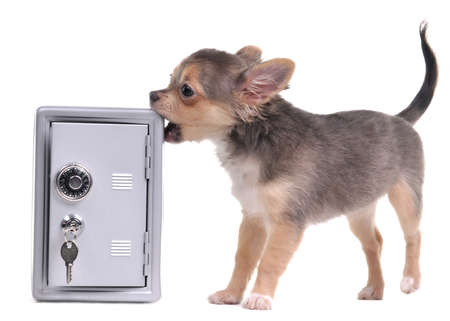 Guard dog of chihuahua breed looking after an open metal safe trying to open it isolated on white background photo