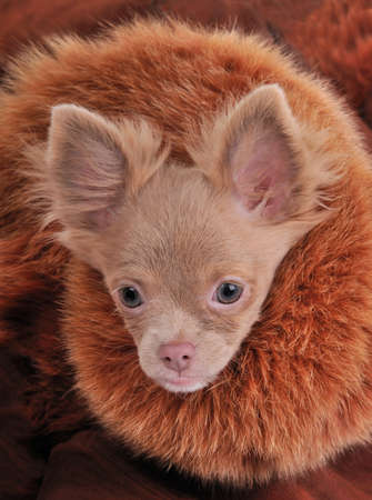 Rich chihuahua with chic fur brown collar dressed for cold winter walk photo