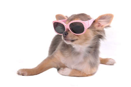 chiwawa: Four Months Old Chihuahua Puppy in Pink Glamorous Sunglasses Lies on a White Background