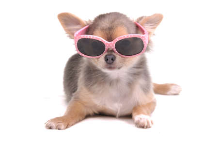 Smart dog. Four Months Old Longhair Tricolor Coloured Chihuahua Puppy Wearing Pink Sun Glasses Lying Isolated on White Background photo