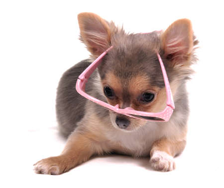 chiwawa: Clever Looking Four Months Old Chihuahua Puppy with Pink Glasses Lying on the Floor Looking at Camera Stock Photo