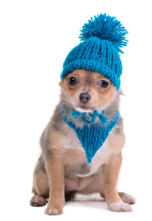 dwarfish: Tricolor Colored Puppy Funnily Dressed For Cold Weather Isolated On White Background. Sitting Four Months Old Trendy Chihuahua With Blue Scarf and Hat With Funny Pompom Looking At Camera. Stock Photo