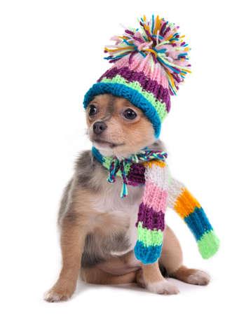 pompom: Tricolore cucciolo colorata stranamente vestito per il freddo isolato su sfondo bianco. Seduta quattro mesi vecchia Chihuahua glamour con colorato sciarpa e cappello con pompon divertente guardando a parte.