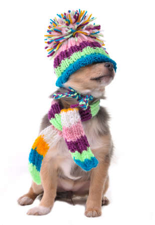 Blind (can't see), shut eyes concept. Puppy Funnily Dressed For Cold Weather Isolated On White Background. Sitting Four Months Old Chihuahua With Scarf and Hat Pulled Over Eyes