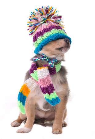 Ciego (no puede ver), cerró el concepto de ojos. Cachorro pasarlo vestido para el frío aislada sobre fondo blanco. Sentado cuatro meses antiguo Chihuahua con bufanda y sombrero tirado sobre ojos