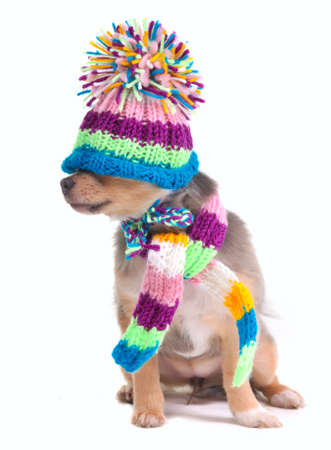 kidding: Blind (cant see), closed eyes concept. Chihuahua Puppy With Scarf and Hat Pulled Over Eyes Stock Photo