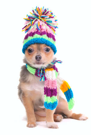 Puppy Dressed For Cold Weather Isolated On White Background. Chihuahua With Scarf and Hat Looking Aside photo