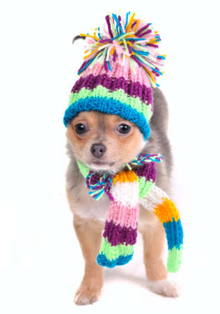 dwarfish: Puppy Dressed For Cold Weather Isolated On White. Chihuahua With Scarf and Hat Looking Aside