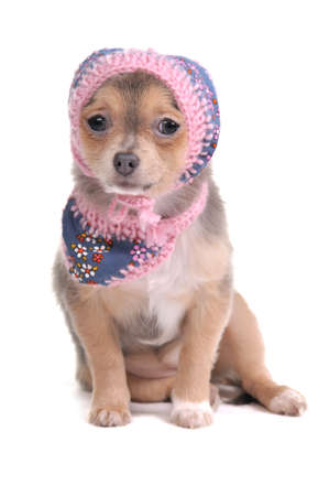 Chihuahua Puppy With Jeans Scarf and Hat Looking At Camera Isolated On White Background photo