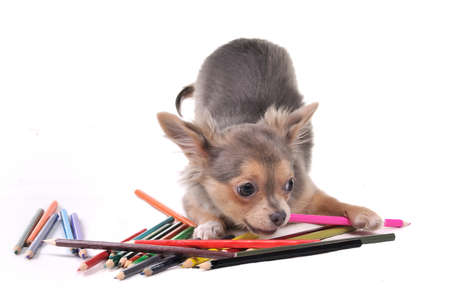 sled dogs: Playful Chihuahua puppy with colorful pencils isolated on white background