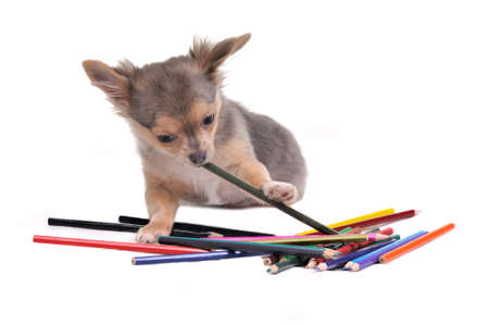 Playful Chihuahua puppy with colorful pencils isolated on white background photo