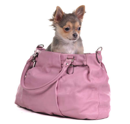dwarfish: Chihuahua puppy sitting in pink bag isolate on white background