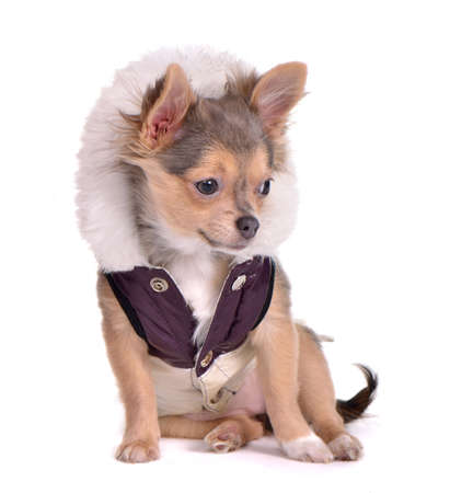 Chihuahua puppy dressed in coat, four months old, sitting in front of white background photo