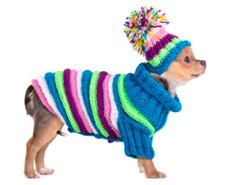 Chihuahua puppy dressed with handmade colorful sweater and hat, standing against of white background