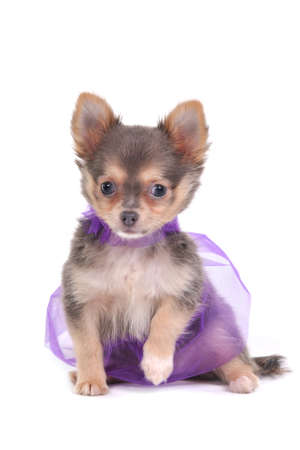 dwarfish: Chihuahua Dressed in beautiful clothes Stock Photo