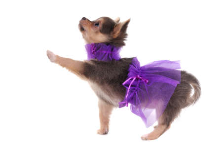 dwarfish: Funny Dressed Chihuahua marching with a paw up