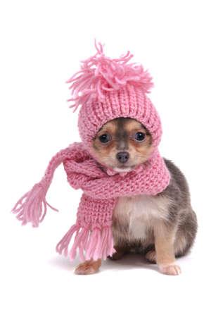 freddo: Stranamente vestito Chihuahua per il freddo
