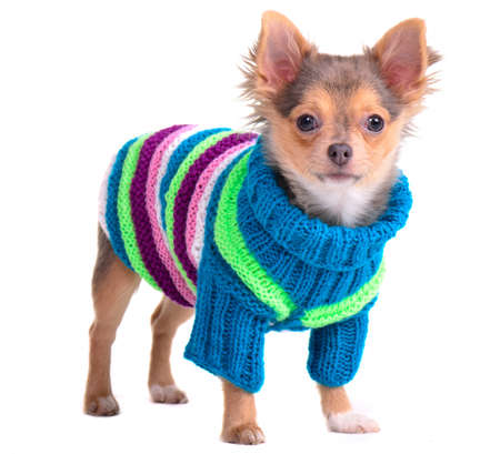 Chihuahua puppy dressed with handmade colorful sweater and hat, looking at camera, isolated on white photo