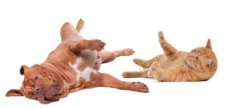 cani che giocano: Cane e gatto giocando svolta isolato a testa in gi� su sfondo bianco Archivio Fotografico