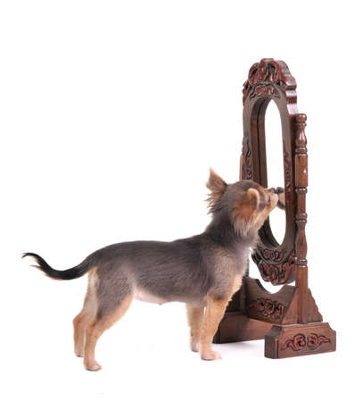 chiwawa: Curious chihuahua puppy looking at reflection on mirror in front of white background