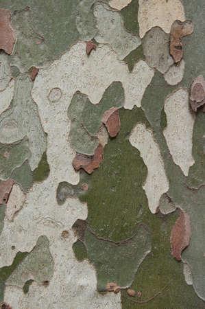 プラタナス: プラタナス (プラタナス) の木の樹皮のような迷彩パターン