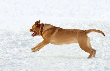 kisser: Happy young dog of Dogue De Bordeaux Breed running in snow