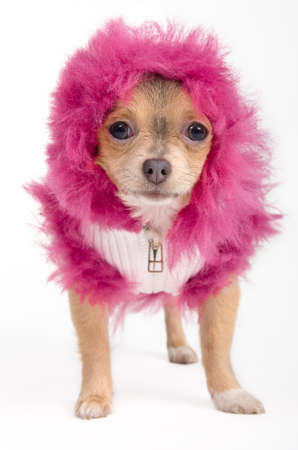 Tiny Chihuahua  dresses in fancy winter jacket and fluffy hood photo
