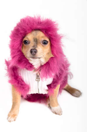 Portrait of a tiny Chihuahua with fluffy pink hood photo