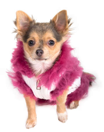 Tiny Chihuahua dressed in winter fluffy jacket photo