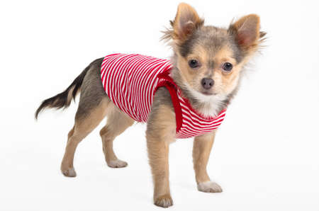 chiwawa: Chihuahua in red and white t-shirt is looking at the camera