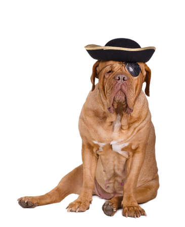 Dogue de bordeaux wearing a pirate costume with pirate black and gold hat and eye patch photo