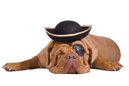 Sleeping dogue de bordeaux dressed as a caribbean pirate with eye patch and hat Stock Photo