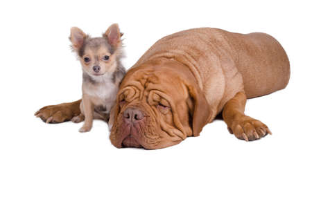 Sleepy big dogue de bordeaux and small chihuahua puppy photo