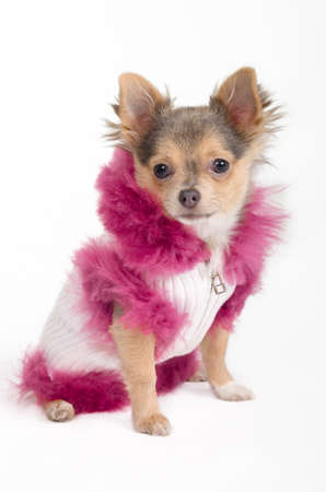 Chihuahua puppy dressed in fancy winter jacket photo