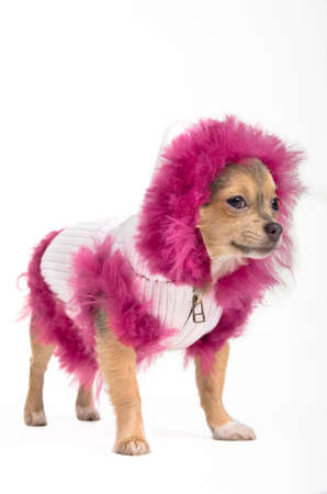 aside: Chihuahua in winter jacket and fluffy hood looking aside Stock Photo