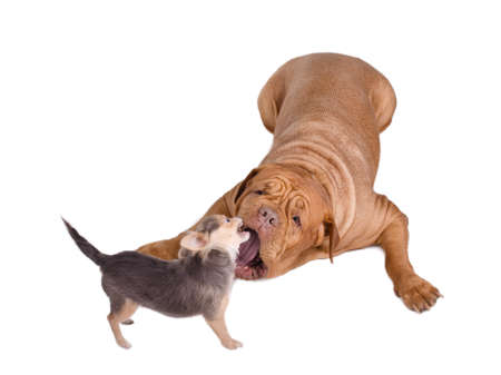 Small chihuahua puppy and big dog de bordeaux playing photo