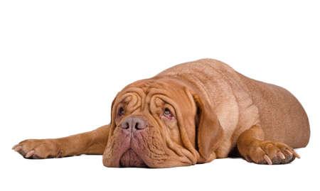 dogue de bordeaux: Big surprised dogue de bordeaux lying on the floor looking up Stock Photo