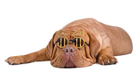 molosse: Dogue de bordeaux with funny glasses with dollar currency sign dreaming of becoming rich
