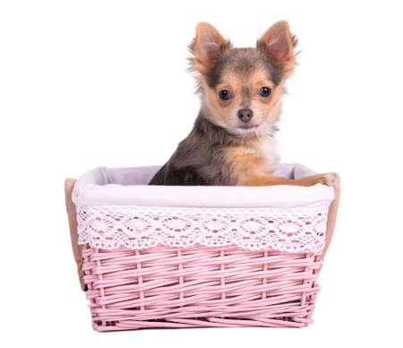 bitch: Tiny Chihuahua puppy girl (bitch) peeking from a handmade pink basket Stock Photo