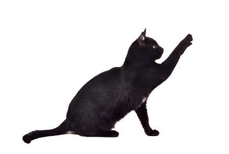 black cat: Black cat reaching up for toy and showing its claws isolated on white background Stock Photo