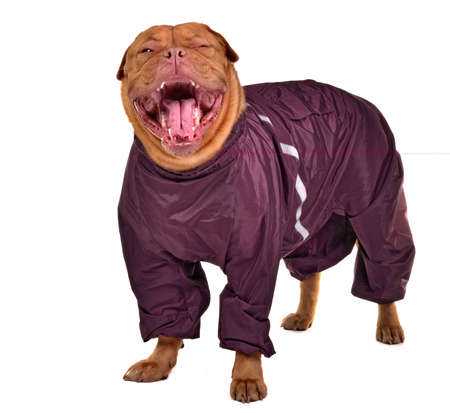 dogue de bordeaux: Cute yawning dog dressed with raincoat, isolated on white