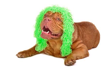Cute dog wearing funny wig isolated on white background photo