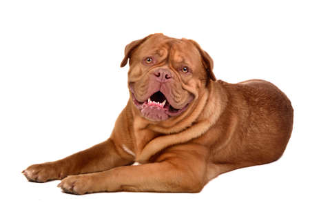 dogue de bordeaux: Cute dog of Dogue De Bordeaux breed lying isolated on white background