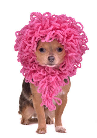 wig: Chihuahua puppy wearing funny pink wig isolated on white background